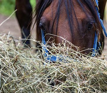Heu - Fluch und Segen der modernen Pferdehaltung/Fütterung
